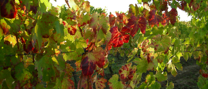 vine leaves major white wine
