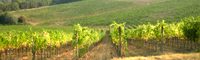 Vineyard of the famous Italian wine Brunello di Montalcino
